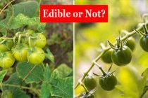 8 Edible Backyard Plants And Their Poisonous Lookalikes