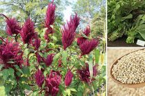 Amaranth Superfood- Storing And Using It For Survival