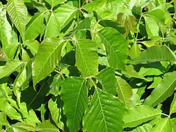 How to Get Rid of Poison Ivy 3