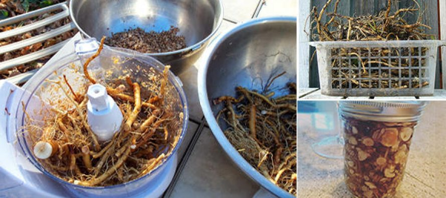Harvesting and Using Dandelion Roots – The Natural Detoxifier