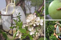 All-Natural Fruit Tree Bait for Insects: It Works!