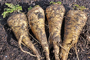 The 24 Highest Calorie Vegetables for Your Survival Garden