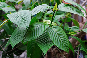 How to Identify and Use Kratom – the Painkilling Plant that Substitutes Opioids