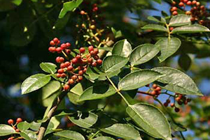 The Health Benefits of Prickly Ash