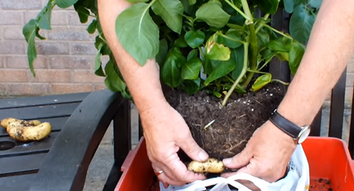 How to Grow Potatoes in Shopping Bags for an Extended Harvest