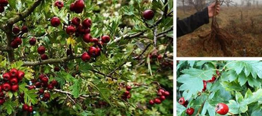 How to Lower Your Bad Cholesterol Levels with Hawthorn