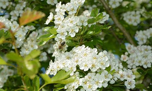 How to lower your bad cholesterol levels with Hawthorn1