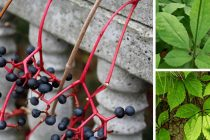 How to Tell the Difference Between the Poisonous Virginia Creeper and the Healthy American Ginseng
