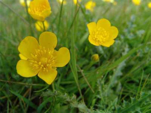 5 Forbidden Remedies That Should Be Legal - Creeping Butterbur