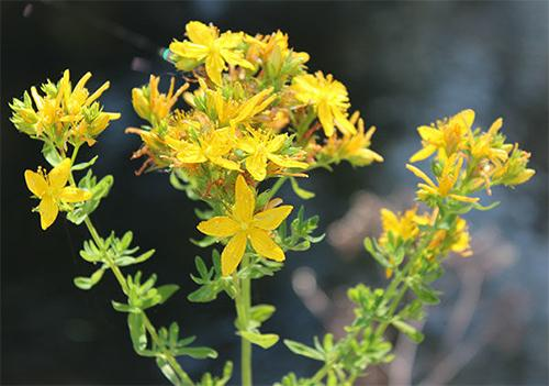 5 Forbidden Remedies That Should Be Legal - St. John's Wort