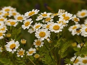 Feverfew - $0 Alternatives to Pain Meds