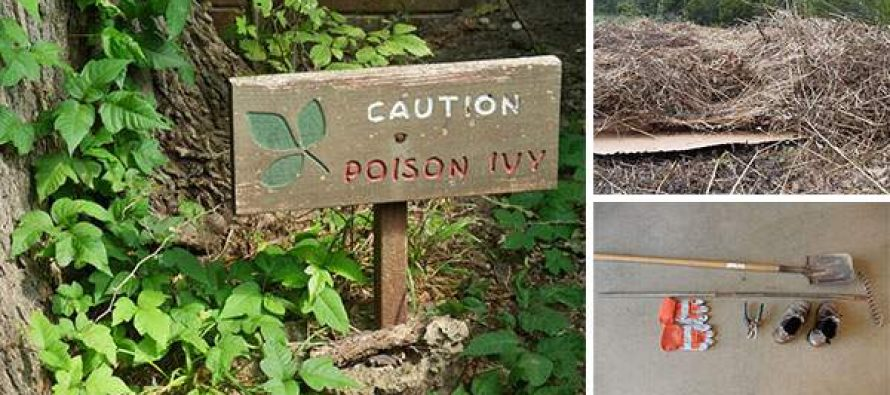 How To Safely Remove Poison Ivy And Hemlock From Your Backyard