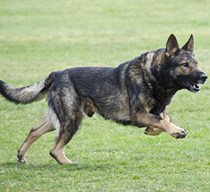 Best Dogs To Have Around For SHTF
