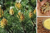 How to Collect Pine Pollen – A Long Lasting Super Food