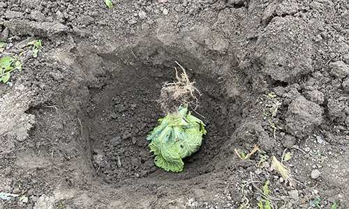 What Happens If You Bury A Cabbage Over Winter?