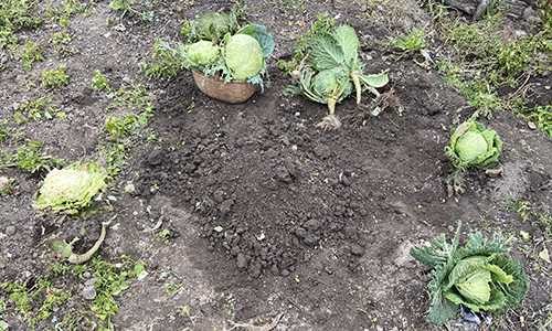 Bury A Cabbage Over Winter?