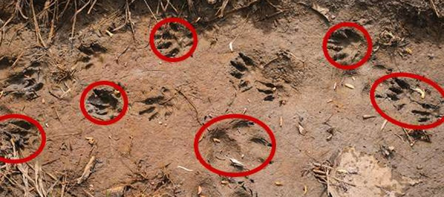 How To Identify Animals By Their Tracks (With Pictures)
