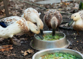 How to Raise Ducks - The Perfect Survival Livestock