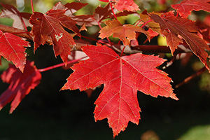 The Survival Guide to Identifying Leaves