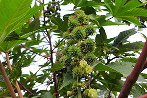 5 Poisonous Plants That Can Be Used As Medicine When SHTF
